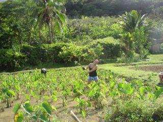 Organic taro lo'i on Oahu… hanahauoli!