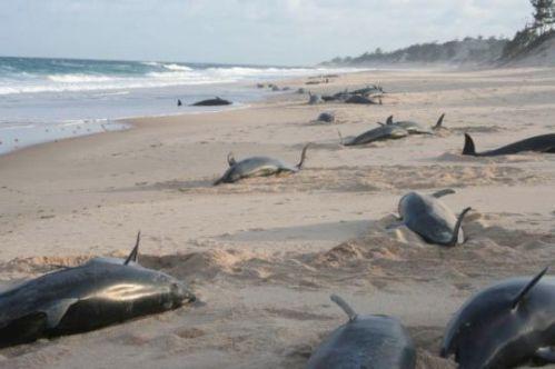 2006 mozambique dolphin stranding